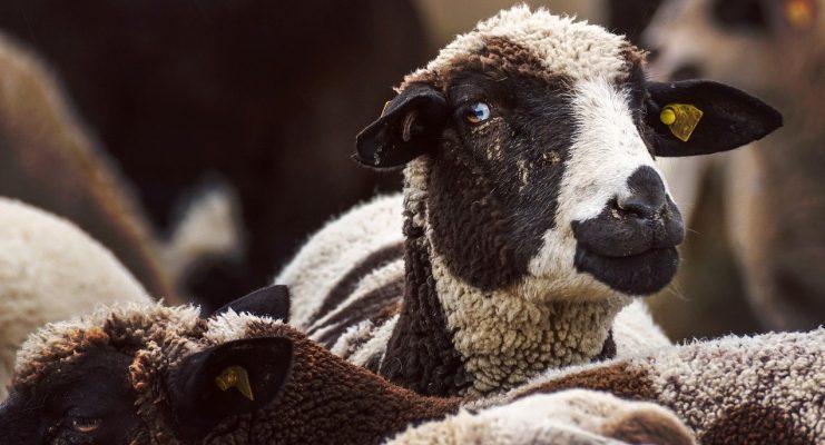 Het zwarte schaap | Een Blog Hout